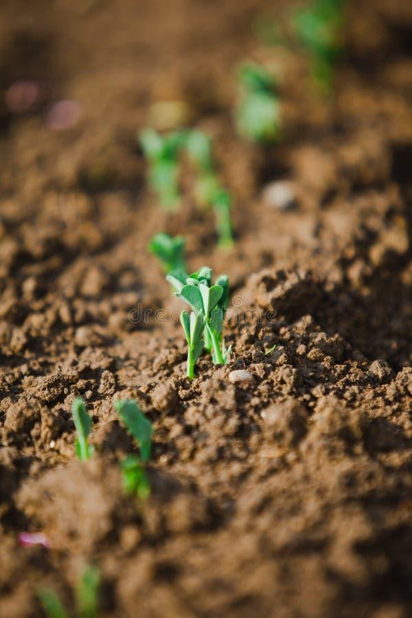 Οι μικρές εγκαταστάσεις των μπιζελιών που αυξάνονται στο θόριο καλλιεργούν - ο καιρός ανοίξεων έρχεται απεικόνιση αποθεμάτων
