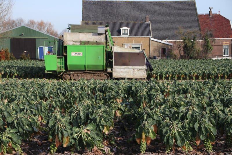 Οι νεαροί βλαστοί των Βρυξελλών συγκομίζονται σε ένα αγρόκτημα σε Barendrecht στις Κάτω Χώρες στοκ εικόνες
