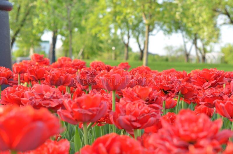 Ομάδα κόκκινων τουλιπών στο πάρκο μπλε σύννεφων πλήρες πράσινο τοπίο εστίασης πεδίων ημέρας οφειλόμενο λίγη μετακίνηση όχι εμφανί στοκ φωτογραφίες με δικαίωμα ελεύθερης χρήσης