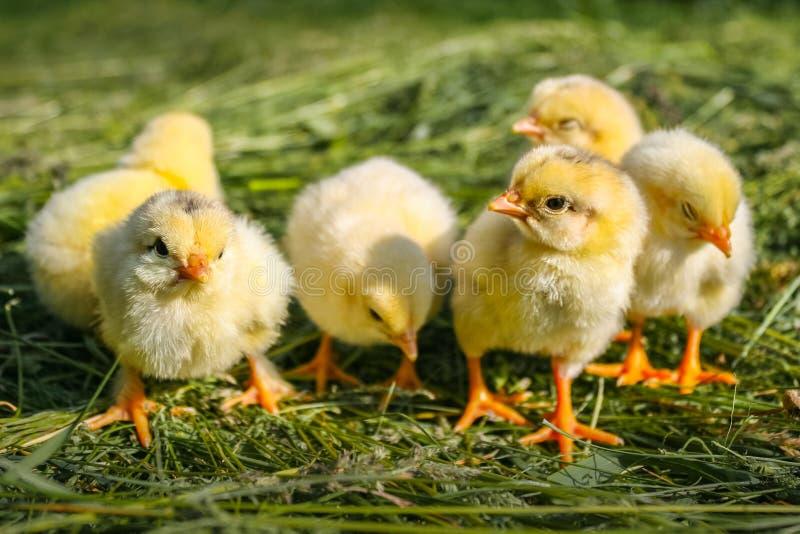 Ομάδα μικρών κοτόπουλων στη χλόη στοκ φωτογραφία