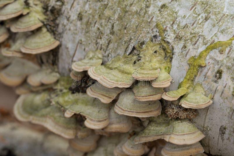 Ομάδα μυκήτων polypore στο δέντρο σημύδων στοκ εικόνες