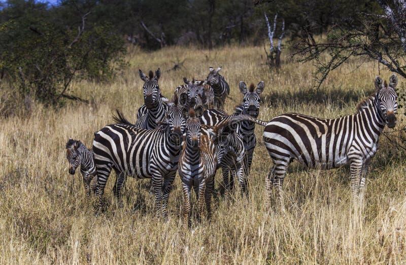 Ομάδα νέων zebras, μια που δαγκώνει την ουρά άλλη στοκ εικόνες με δικαίωμα ελεύθερης χρήσης