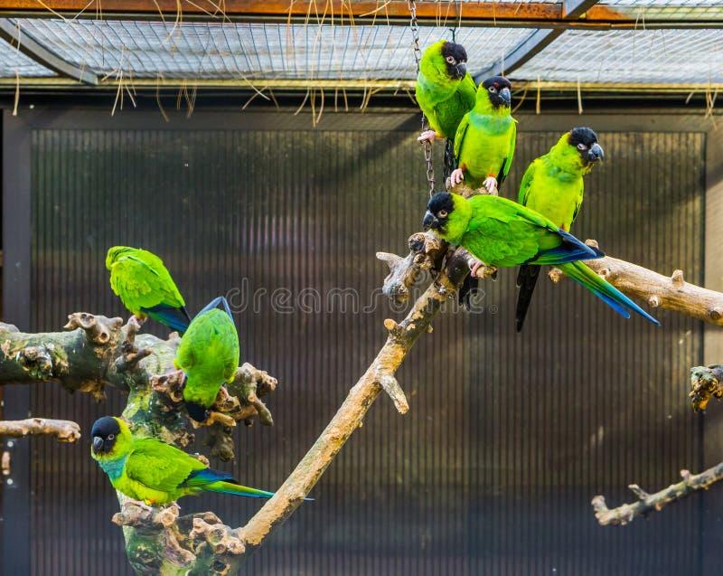 Ομάδα συνεδρίασης Nanday parakeets στον κλάδο μαζί στο κλουβί, δημοφιλή τροπικά κατοικίδια ζώα από την Αμερική στοκ εικόνα με δικαίωμα ελεύθερης χρήσης