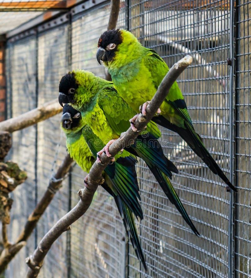 Ομάδα nanday parakeets που κάθεται κοντά σε έναν κλάδο στα ζωηρόχρωμων και τροπικών πουλιά κλουβιών, από την Αμερική στοκ εικόνα με δικαίωμα ελεύθερης χρήσης