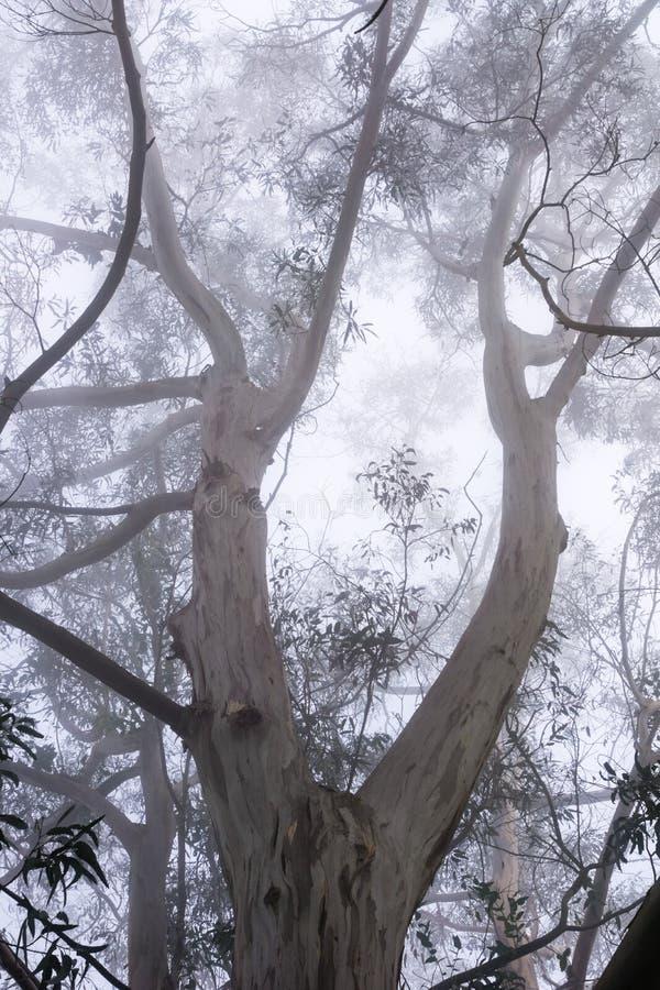 Ομιχλώδες δάσος ευκαλύπτων, πάρκο κομητειών κοιλάδων SAN Pedro, περιοχή κόλπων του Σαν Φρανσίσκο, Καλιφόρνια στοκ εικόνες