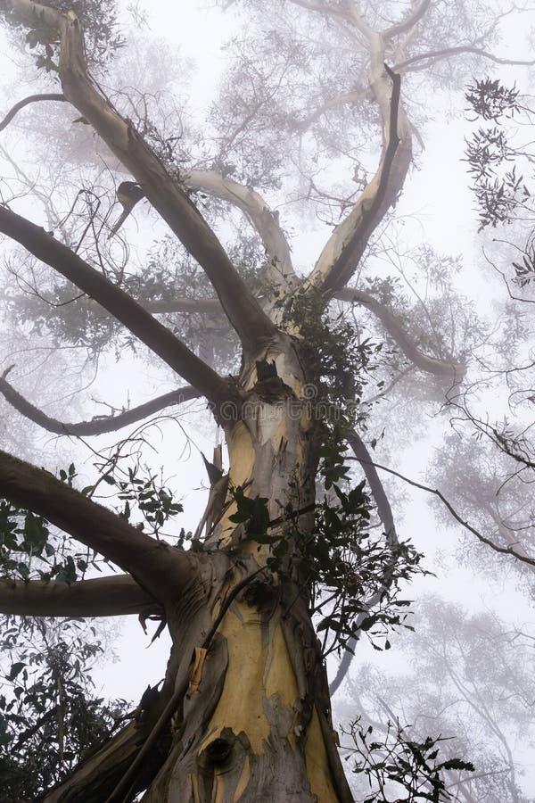 Ομιχλώδες δάσος ευκαλύπτων, πάρκο κομητειών κοιλάδων SAN Pedro, περιοχή κόλπων του Σαν Φρανσίσκο, Καλιφόρνια στοκ εικόνα