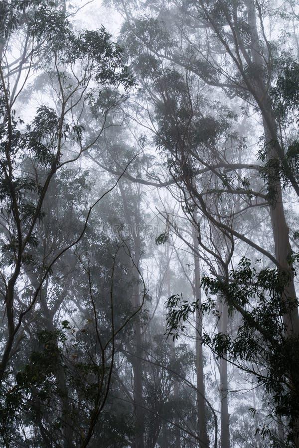 Ομιχλώδες δάσος ευκαλύπτων, πάρκο κομητειών κοιλάδων SAN Pedro, περιοχή κόλπων του Σαν Φρανσίσκο, Καλιφόρνια στοκ φωτογραφίες