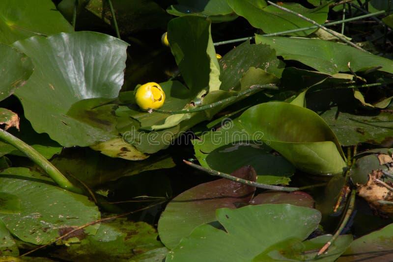Οφθαλμός μαξιλαριών της Lilly έτοιμος σε Blossum στοκ εικόνες με δικαίωμα ελεύθερης χρήσης