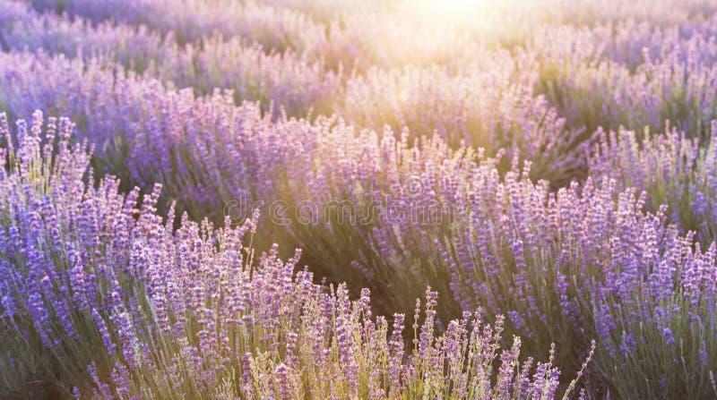 Ουρανός ηλιοβασιλέματος πέρα από έναν ιώδη lavender τομέα στην Προβηγκία, Γαλλία Lavender φυτεύει το τοπίο στο φως βραδιού με θάμ στοκ εικόνα