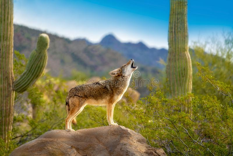 Ουρλιάζοντας κογιότ που στέκεται στο βράχο με τους κάκτους Saguaro στοκ φωτογραφία