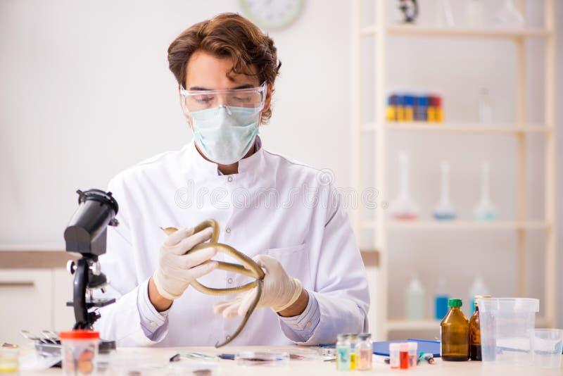 Ο αρσενικός επιστήμονας που εξάγει το δηλητήριο από το φίδι για τη σύνθεση φαρμάκων στοκ εικόνες