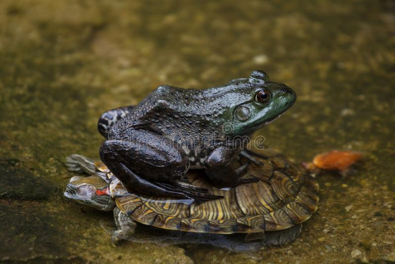 Ο βάτραχος κάθεται σε μια χελώνα σε μια λίμνη στοκ εικόνες