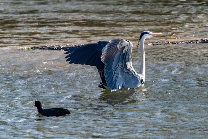 Ο γκρίζος ερωδιός με τα φτερά μετά από να προσγειωθεί στο νερό λιμνών στοκ φωτογραφία με δικαίωμα ελεύθερης χρήσης