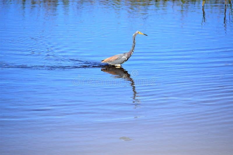 Ο ερωδιός Tricolored είναι ένα μικρούλες, αλλά όμορφο wading πουλί στοκ εικόνα