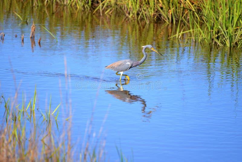 Ο ερωδιός Tricolored είναι απευθείας κυνηγός μεταξύ των πουλιών νερού έλους στοκ εικόνα