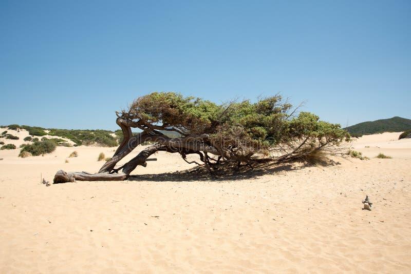Ο μαΐστρος διαμορφώνει τα δέντρα στη Σαρδηνία στοκ εικόνες με δικαίωμα ελεύθερης χρήσης