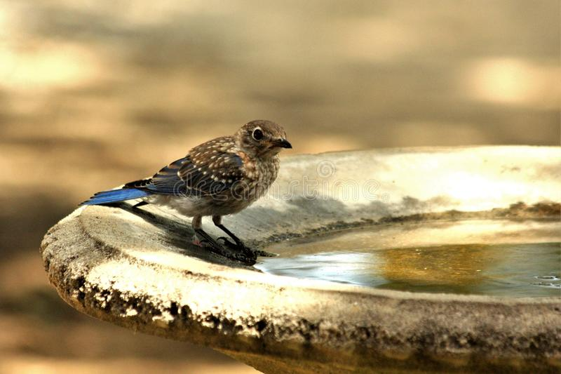 Ο νεανικός μπλε Jay στο λουτρό πουλιών στοκ φωτογραφίες με δικαίωμα ελεύθερης χρήσης