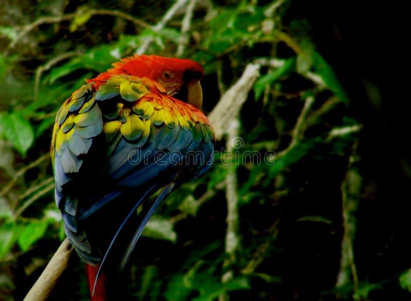 Ο όμορφος χρωματισμός ενός ερυθρού macaw σε μια ζάλη θέτει σε έναν κλάδο στοκ εικόνα