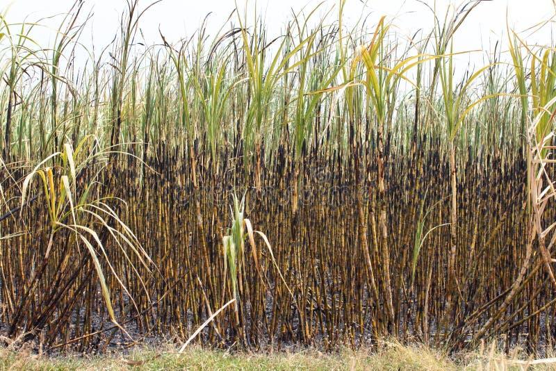 Ο τομέας ζαχαροκάλαμων καίγεται στοκ φωτογραφίες με δικαίωμα ελεύθερης χρήσης
