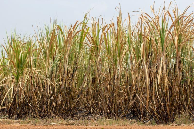 Ο τομέας ζαχαροκάλαμων καίγεται στοκ εικόνα με δικαίωμα ελεύθερης χρήσης