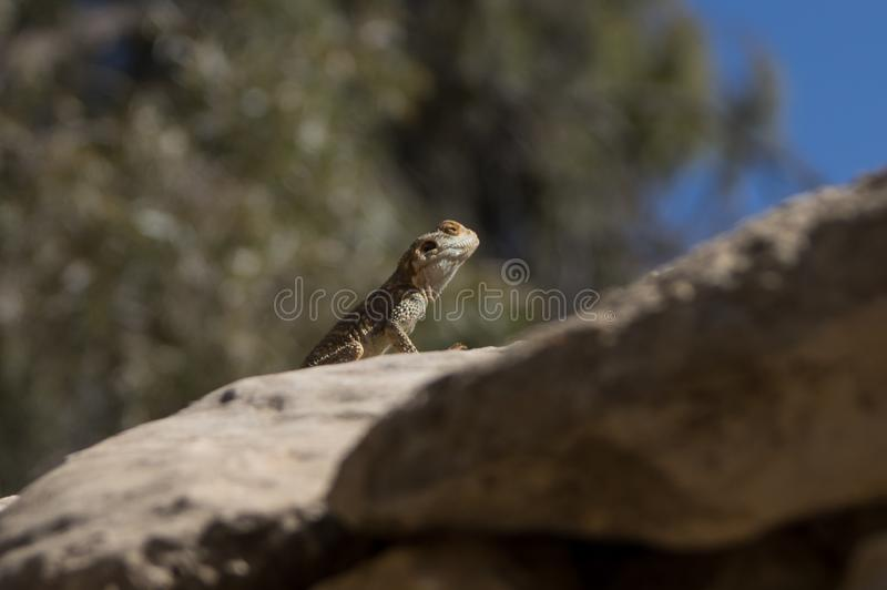 Ο χρωματισμένος δράκος - brachydactyla stellio Laudakia στοκ εικόνες
