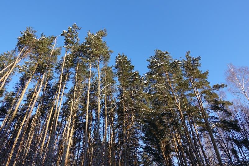 Δάσος πεύκων κάτω από το βαθύ μπλε ουρανό στο βουνό Carpathians στοκ εικόνα με δικαίωμα ελεύθερης χρήσης