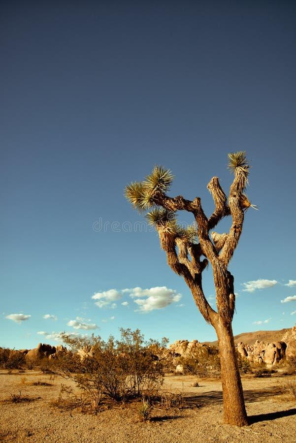 Δέντρο του Joshua στο εθνικό πάρκο δέντρων του Joshua στοκ εικόνα