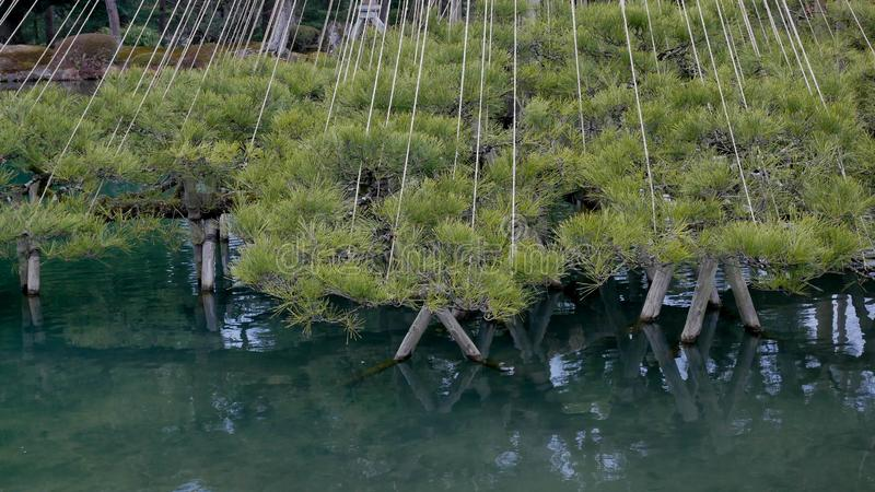 Δέντρο πεύκων σε έναν ιαπωνικό κήπο στοκ φωτογραφίες
