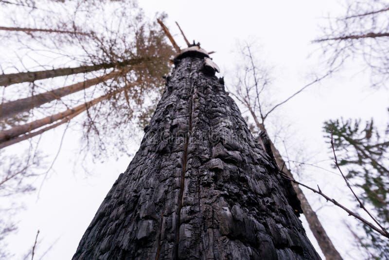 Δέντρο που καίγεται από την αστραπή στοκ εικόνες