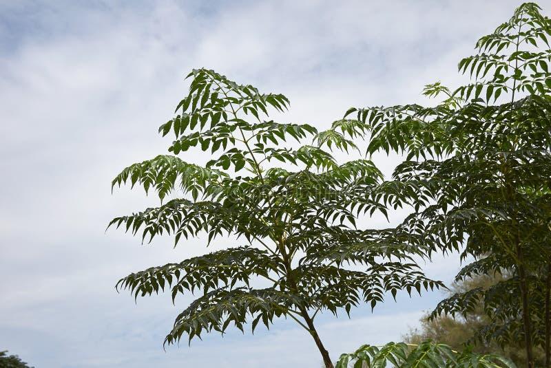 Δέντρο Melia azedarach στοκ εικόνα