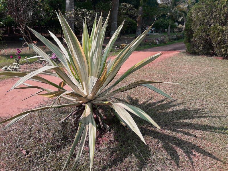 Δέντρο Tequila αγαύης σε έναν κήπο στοκ εικόνες