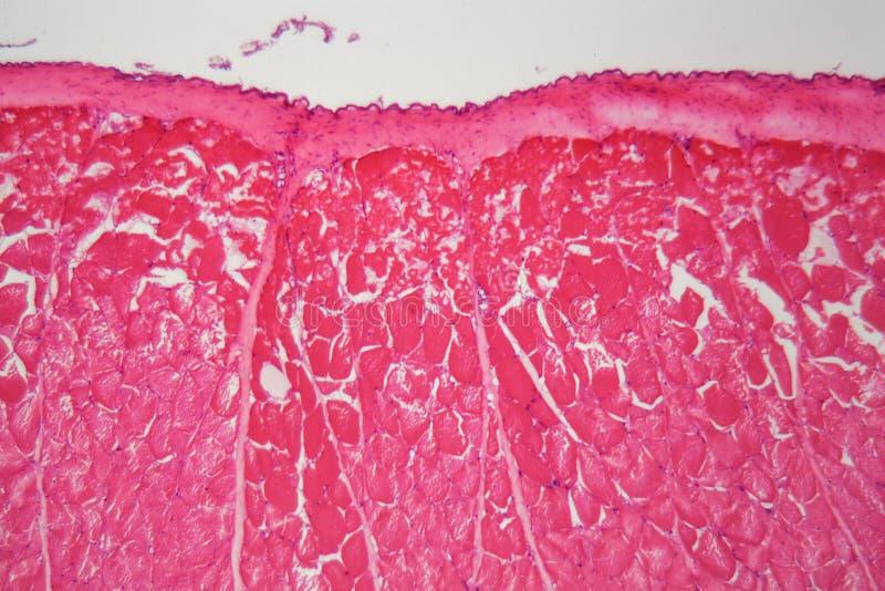 Δέρμα ψαριών που τραυματίζεται από τις χημικές ουσίες κάτω από το μικροσκόπιο στοκ φωτογραφία με δικαίωμα ελεύθερης χρήσης