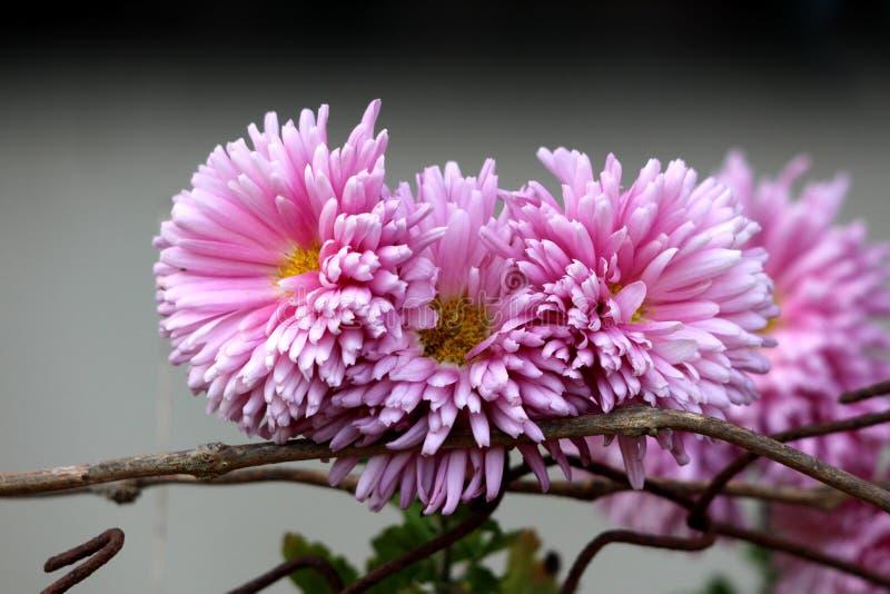 Δέσμη των πυκνά φυτ'ντων ανθίζοντας φυτών χρυσάνθεμων ή Chrysanths με τα πλήρως ανοικτά ιώδη λουλούδια που αυξάνονται πάνω από μι στοκ εικόνες