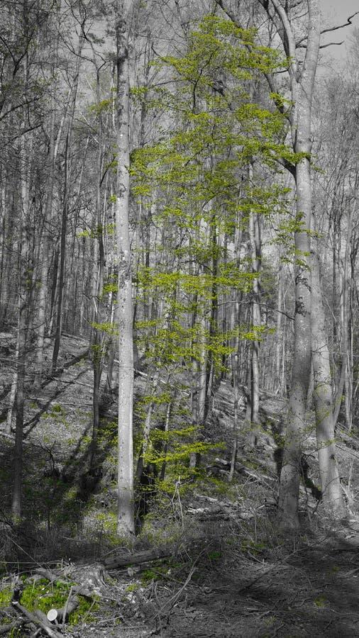 Δασική την άνοιξη μαύρη άσπρη πράσινη ηλιαχτίδα στοκ φωτογραφία