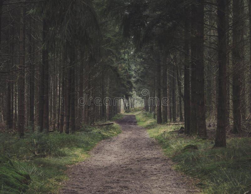 Δασικός περίπατος μέσω των ψηλών ευθέων δέντρων πεύκων στοκ φωτογραφίες