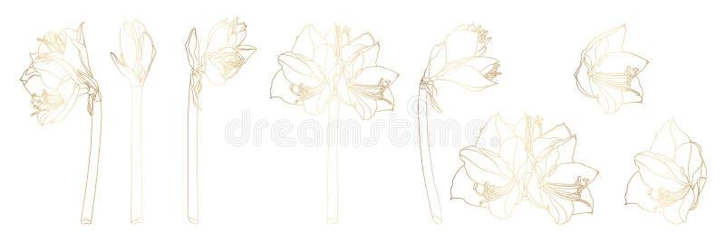 Διακοσμητικά λουλούδια κλάδων amaryllis clivia γραμμών χρυσά καθορισμένα, στοιχεία σχεδίου απεικόνιση αποθεμάτων