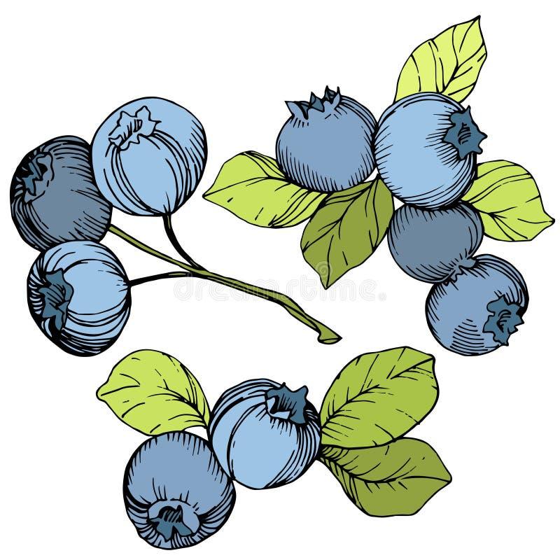 Διανυσματική τέχνη μελανιού βακκινίων πράσινη και μπλε χαραγμένη Μούρα και πράσινα φύλλα Απομονωμένο στοιχείο απεικόνισης βακκινί ελεύθερη απεικόνιση δικαιώματος