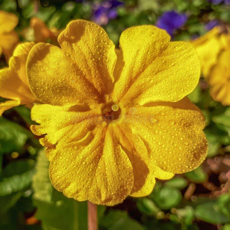 Δροσιά κίτρινο Primrose στον ήλιο στοκ φωτογραφίες