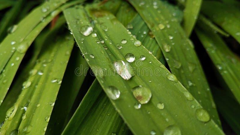 Δροσιά στα πράσινα φύλλα στοκ εικόνα με δικαίωμα ελεύθερης χρήσης