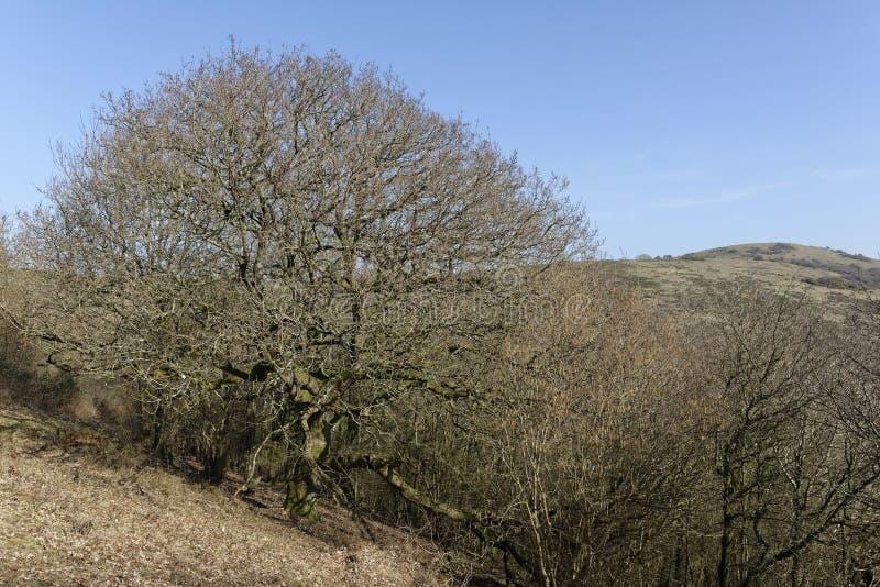 Δρύινο δέντρο Pedunculate στοκ εικόνες