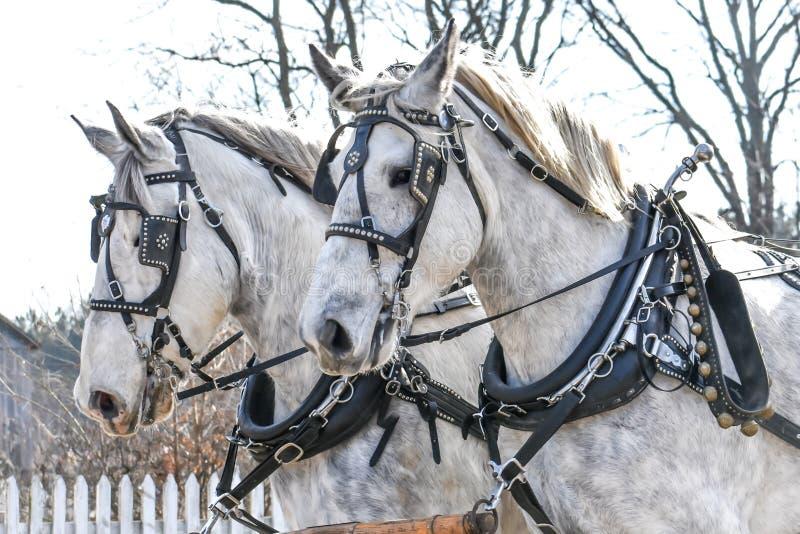 Δύο άσπρα άλογα με τα μαύρα λουριά μεταφορών στοκ εικόνες
