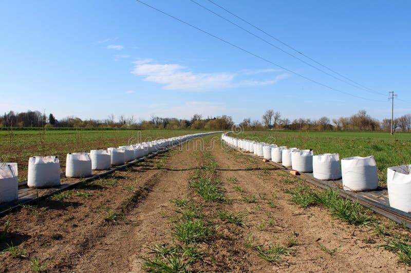 Δύο πολύ μακροχρόνιες σειρές των μικρών δέντρων που φυτεύονται στις μεγάλες άσπρες τσάντες έτοιμες για τη φύτευση στον τομέα που  στοκ φωτογραφία με δικαίωμα ελεύθερης χρήσης
