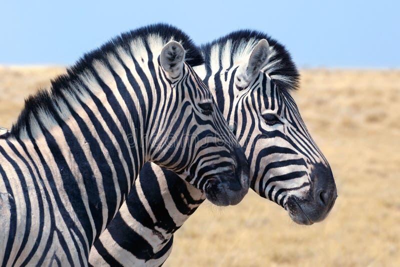 Δύο zebras στέκονται το ένα δίπλα στο άλλο την κινηματογράφηση σε πρώτο πλάνο στη σαβάνα, σαφάρι στο εθνικό πάρκο Etosha, Ναμίμπι στοκ εικόνες με δικαίωμα ελεύθερης χρήσης