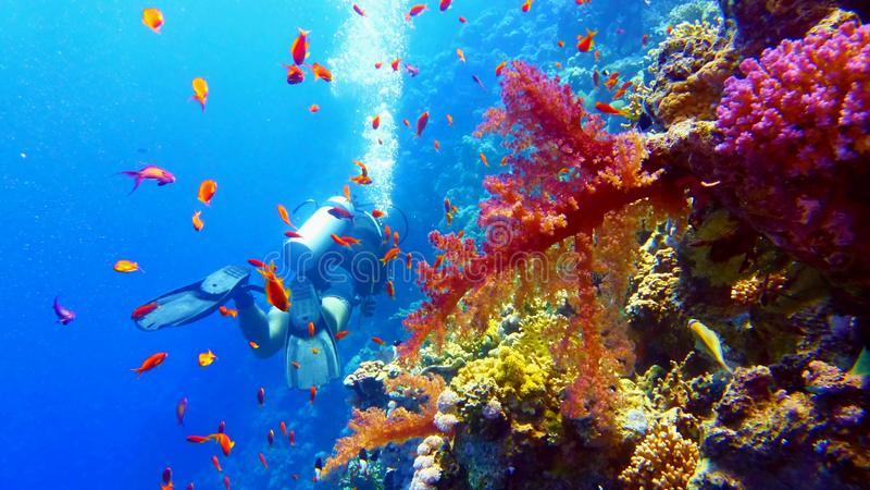 Δύτης σκαφάνδρων κοντά στην όμορφη κοραλλιογενή ύφαλο στοκ εικόνα με δικαίωμα ελεύθερης χρήσης