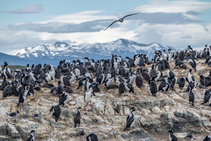 Île d'oiseaux de mer de cormorans - la Manche de briquet, Ushuaia, Argentine photos stock