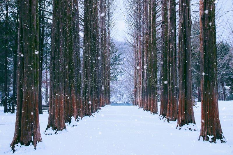 Île de Nami en Corée, rangée des pins en hiver images stock