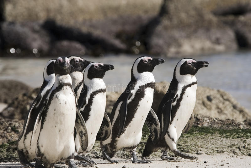 Île de pingouin de Cape Town en Afrique du Sud photo stock