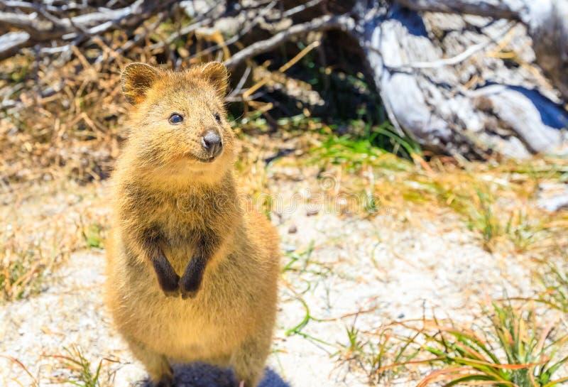 Île de Quokka Rottnest photo libre de droits