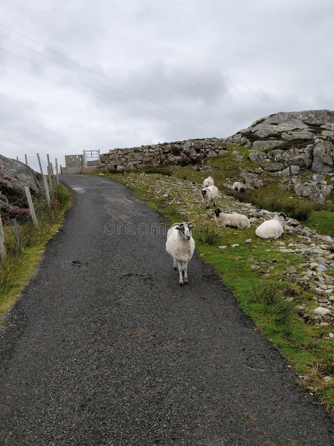Île des moutons de Scalpay photo libre de droits