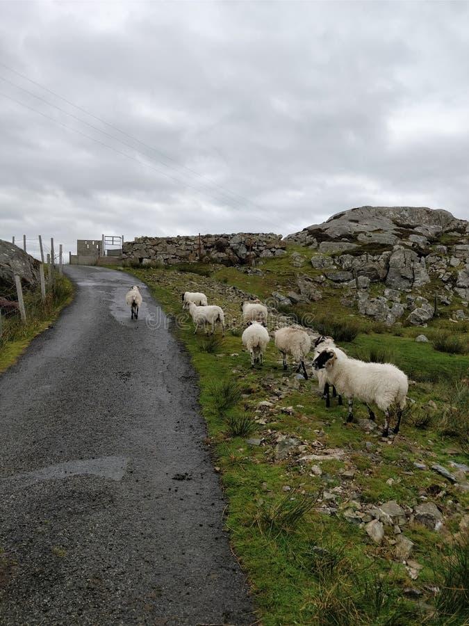 Île des moutons de Scalpay photographie stock libre de droits